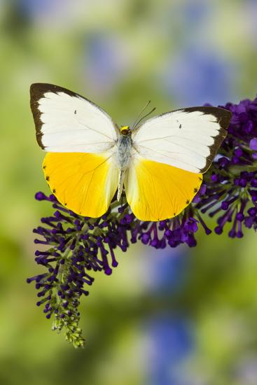 White and Yellow butterfly in the Pieridae family on purple Butterfly Bush-Darrell Gulin-Photographic Print