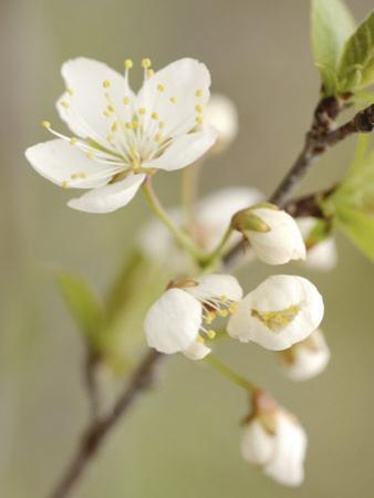 White Apple Blossom Flowers Blooming on Branch