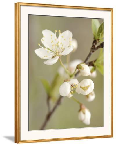 White Apple Blossom--Framed Photographic Print