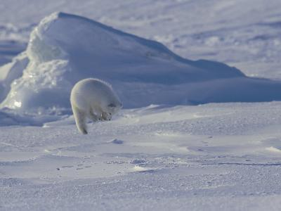 White Arctic Fox (Alopex Lagopus) Jumps on a Ringed Seal Pup Den-Norbert Rosing-Photographic Print