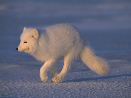 White Arctic Fox (Alopex Lagopus) Runs across a Snowy Landscape-Norbert Rosing-Photographic Print