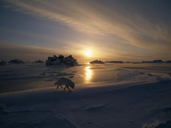White Arctic Fox (Alopex Lagopus) Steals across an Icy Landscape-Norbert Rosing-Photographic Print