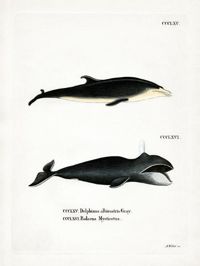 White-Beaked Dolphin--Giclee Print