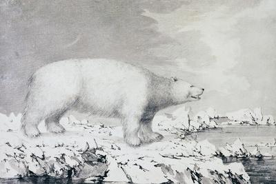 White Bear--Giclee Print