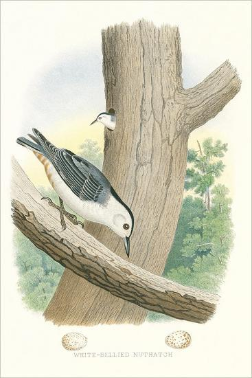 White-Bellied Nuthatch Nest and Eggs--Art Print