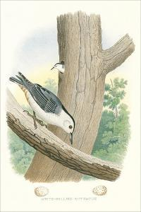 White-Bellied Nuthatch Nest and Eggs