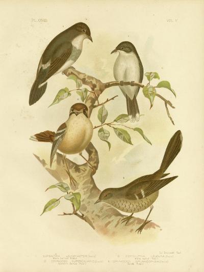White-Bellied Robin, 1891-Gracius Broinowski-Giclee Print