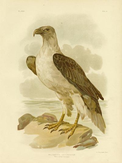 White-Bellied Sea Eagle, 1891-Gracius Broinowski-Giclee Print
