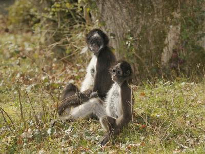 White-Bellied Spider Monkey (Ateles Belzebuth) Mother and Baby, Captive-Dave Watts-Photographic Print