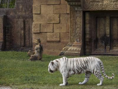 https://imgc.artprintimages.com/img/print/white-bengal-tiger-at-miami-metro-zoo-miami-florida-usa_u-l-p1g2br0.jpg?p=0