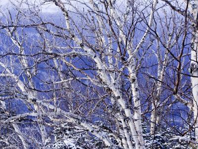 White Birch Trees-Tim Laman-Photographic Print