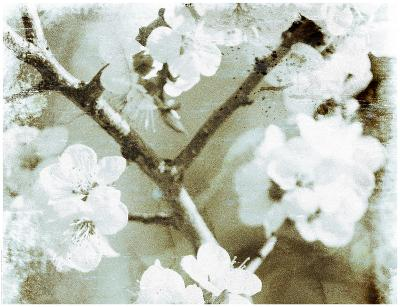 White Blossoms in Sepia II--Art Print