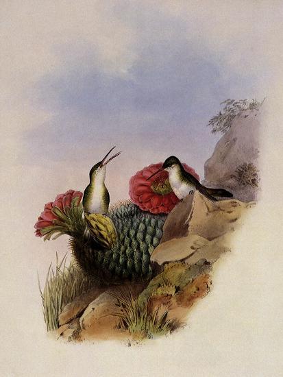 White-Breasted Leucippus, Leucippus Chionogaster-John Gould-Giclee Print