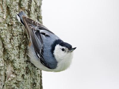 White-Breasted Nuthatch (Sitta Carolinensis), Ontario, Canada-Arthur Morris-Photographic Print