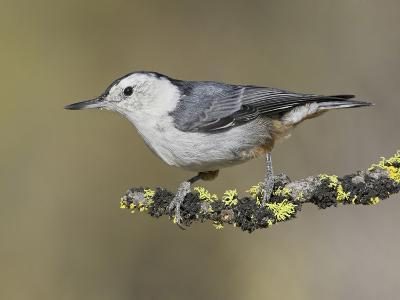 White-Breasted Nuthatch (Sitta Carolinensis) Perched on a Branch in Oregon, USA-Glenn Bartley-Photographic Print
