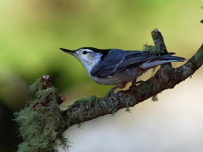 White-Breasted Nuthatch, Sitta Carolinensis, Perching on a Branch-Darlyne A^ Murawski-Photographic Print