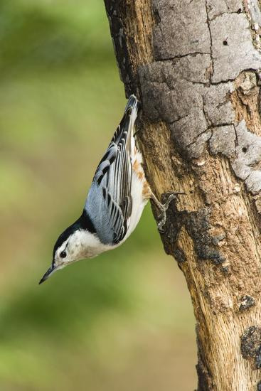 White-Breasted Nuthatch-Gary Carter-Photographic Print