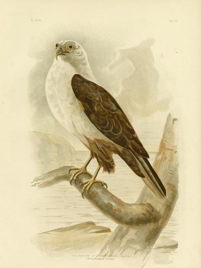 White-Breasted Sea Eagle, 1891-Gracius Broinowski-Giclee Print