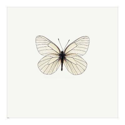 White Butterfly-PhotoINC Studio-Art Print