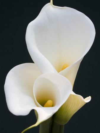 https://imgc.artprintimages.com/img/print/white-calla-lilies_u-l-p2tp0k0.jpg?p=0