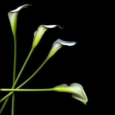 https://imgc.artprintimages.com/img/print/white-calla-lily-2_u-l-phesxv0.jpg?p=0