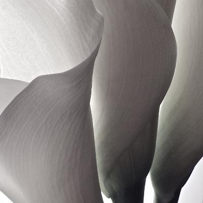 White Callas III-Monika Burkhart-Photographic Print
