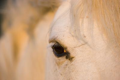 White Camargue Horse Close-Up of Head, Camargue, France, May 2009-Allofs-Photographic Print