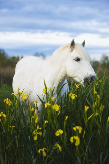 White Camargue Horse Grazing Amongst Yellow Flag Irises, Camargue, France, April 2009-Allofs-Photographic Print
