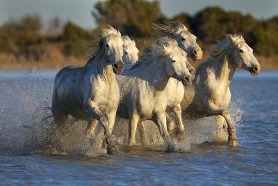 White Camargue Horses Running in Water, Provence, France-Jaynes Gallery-Photographic Print