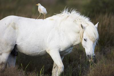 White Camargue Stallion with a Cattle Egret (Bulbulcus Ibis) on His Back, Camargue, France-Allofs-Photographic Print