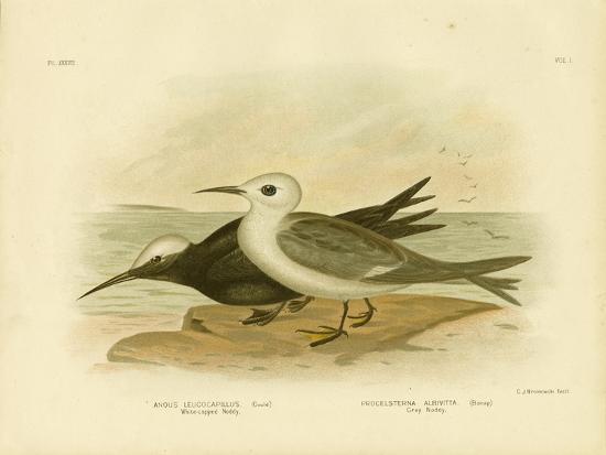 White-Capped Noddy, 1891-Gracius Broinowski-Giclee Print