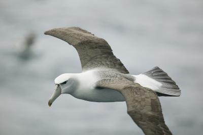 White-Capped, or Shy Albatross, in Flight-DLILLC-Photographic Print