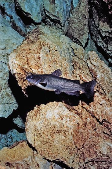 White Catfish (Ameiurus Catus), Crystal River, Florida, USA-Reinhard Dirscherl-Photographic Print