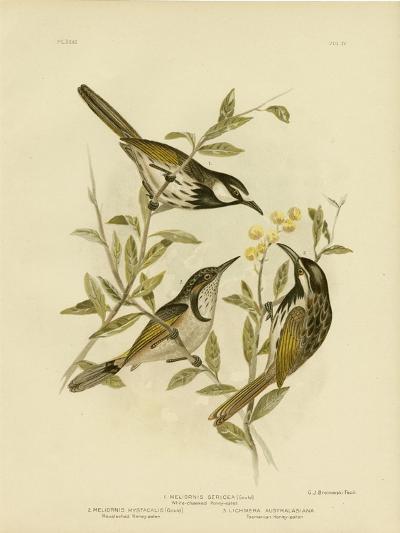 White-Cheeked Honeyeater, 1891-Gracius Broinowski-Giclee Print