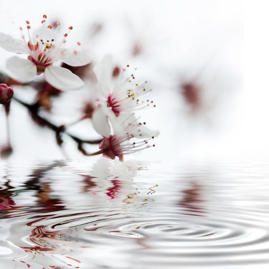 White Cherry Blossom - Square-Lebens Art-Art Print