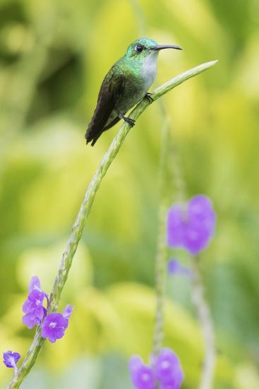 White-Chested Emerald-Ken Archer-Photographic Print