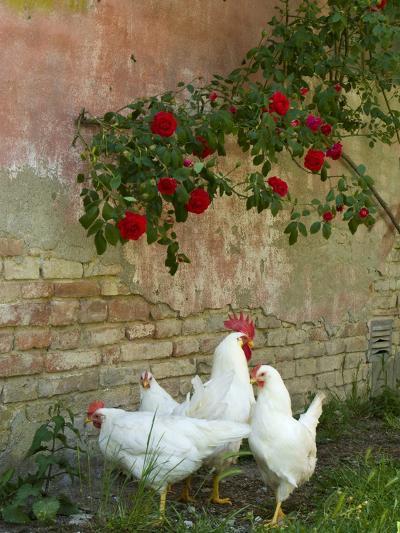 White chickens beneath roses-Mark Bolton-Photographic Print