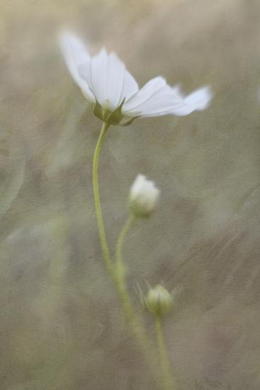 White cosmos flower photographic print by kathleen clemons art white cosmos flowerby kathleen clemons mightylinksfo