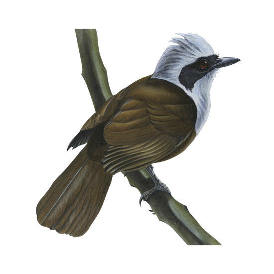 White-Crested Laughing Thrush (Garrulax Leucolophus), Birds-Encyclopaedia Britannica-Art Print