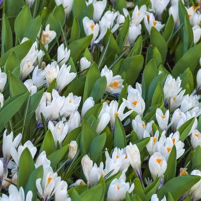 White Crocus Blooms-Anna Miller-Photographic Print