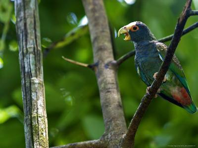 White-Crowned Parrot, Parrot Perched on Branch with Beak Open, Costa Rica-Roy Toft-Photographic Print