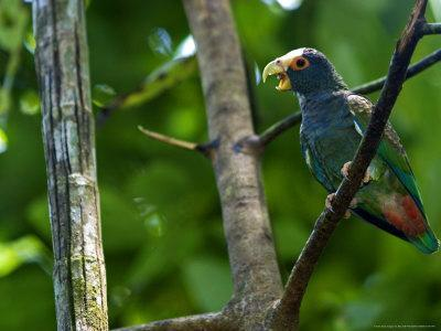 https://imgc.artprintimages.com/img/print/white-crowned-parrot-parrot-perched-on-branch-with-beak-open-costa-rica_u-l-q10r8hf0.jpg?p=0