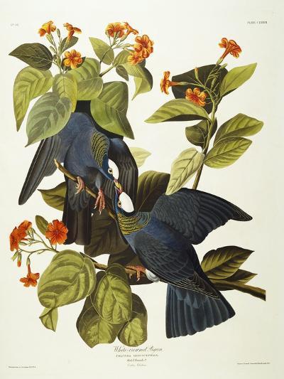 White-Crowned Pigeon (Columba Leucocephala), Plate Clxxvii, from 'The Birds of America'-John James Audubon-Giclee Print