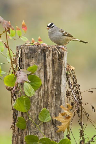 White-Crowned Sparrow (Zonotrichia Leucophrys) Foraging, Texas, USA-Larry Ditto-Photographic Print