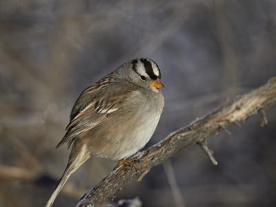 White-Crowned Sparrow (Zonotrichia Leucophrys)-James Hager-Photographic Print