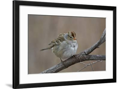 White-Crowned Sparrow (Zonotrichia Leucophrys)-James Hager-Framed Photographic Print
