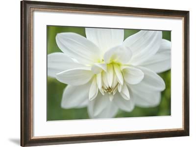 White Dahlia-Cora Niele-Framed Photographic Print