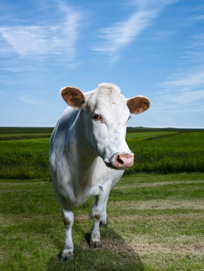 White Dairy Cow, Iceland--Photographic Print