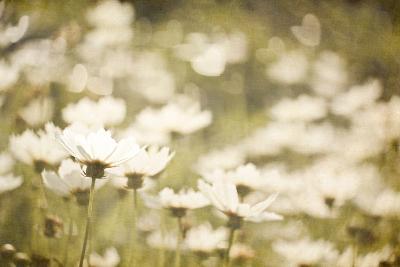 White Daisies--Photographic Print