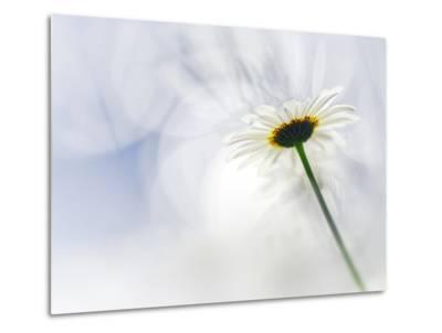 White Daisy-Ursula Abresch-Metal Print